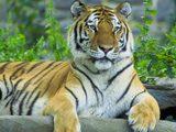 Пазлы Львы и Тигры